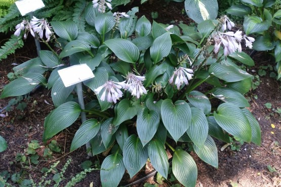 Hosta 'Devon Green' - hosta