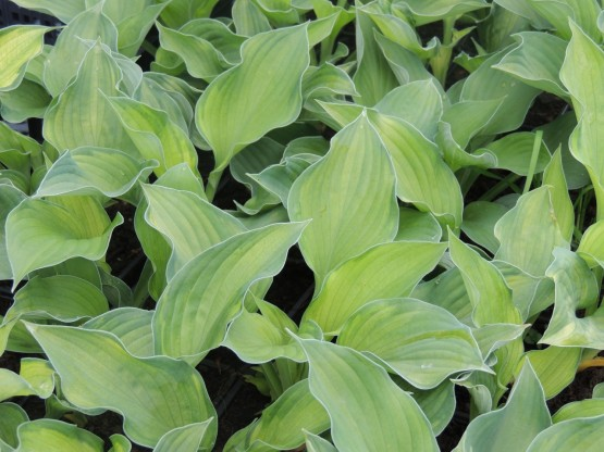 Hosta fortunei 'Sharmon' - hosta