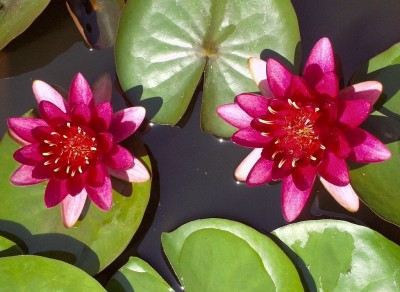 Nymphaea 'Burgundy Princess' - lokvanj