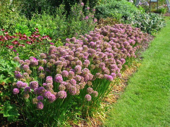 Allium senescens 'Lisa Green' - okrasni luk