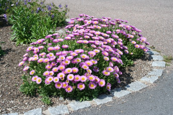 Aster alpinus 'Happy End' - alpska astra