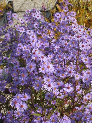 Aster cordifolius 'Little Carlow' - astra