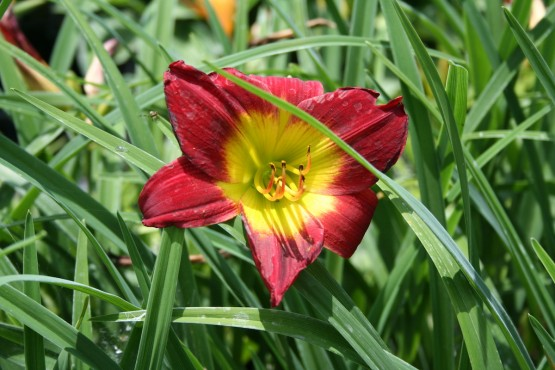 Hemerocallis 'Christmas Is' - maslenica