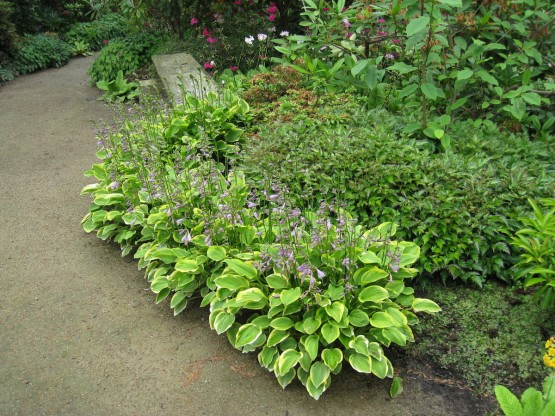 Hosta 'Golden Tiara' - hosta