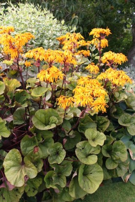 Ligularia dentata  'Othello' - ligularija