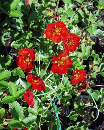 Potentilla atrosanguinea 'Red' - petoprstnik