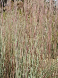 Schizachyrium scoparium 'The Blues' - obrad